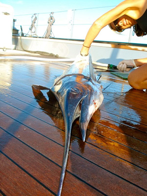 Dec-08-filleting-a-sailfish-whilst-crossing-to-Antigua
